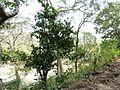 Ixora brachiata (3111988977).jpg