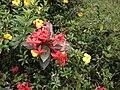 Ixora coccinea flower 2.jpg