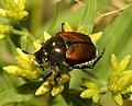 JAPANESE BEETLE (popillia japonica) (8-11-09) pepperell, ma -01 (3824391310).jpg