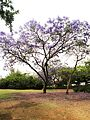 Jacaranda mimosifolia ap 001.JPG