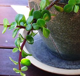 Jade in a pot.jpg