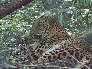 Jaguar at Rajiv Gandhi Zoological Park.jpg