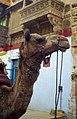 Jaisalmer camel (6682695699).jpg
