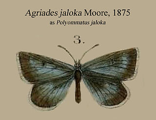 <i>Agriades jaloka</i> Species of butterfly