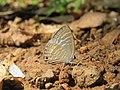 Jamides celeno - Common Cerulean mud puddling at Peravoor (3).jpg