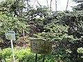 Japanese Yew at Echigo Shrine.jpg