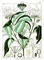 Jasminum cordifolium Govindoo.jpg