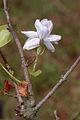 Jasminum sambac 20020400 4.jpg