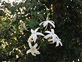 Jasmium tortuosum flowers.jpg
