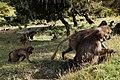 Jelada Monkeys II (23797400619).jpg