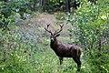Jeleń szlachetny (Cervus elaphus) 2.jpg