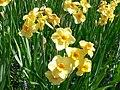 Jonquilla daffodil - narcissus var stratosphere 2.jpg