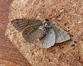 July Highflyer. Hydriomena furcata. u-s - Flickr - gailhampshire.jpg