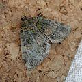 July Highflyer. Hydriomena furcata - Flickr - gailhampshire (2).jpg