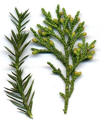 Juniper - Detail of Juniperus chinensis shoots, with juvenile (needle-like) leaves (left), and adult scale leaves and immature male cones (right)