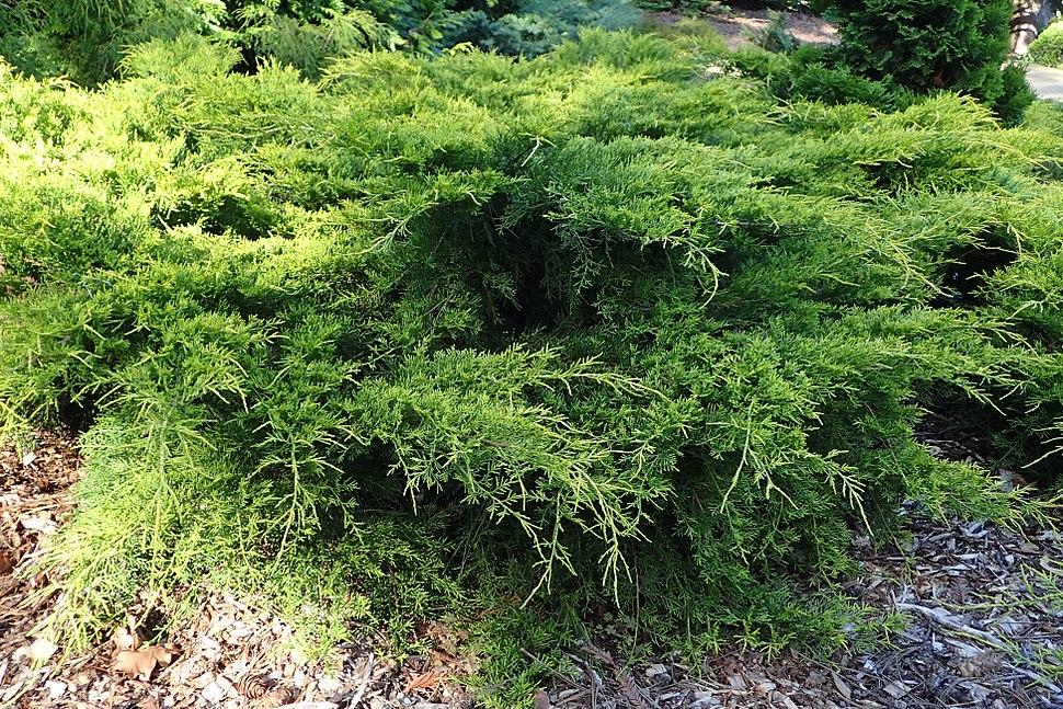 Juniperus %C3%97 pfitzeriana %27Gold Coast%27 03