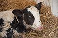 Just born calf (4496751983) (2).jpg
