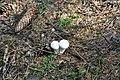 Kārpainais pūpēdis (Lycoperdon gemmatum), Vecumnieku pagasts, Vecumnieku novads, Latvia - panoramio.jpg