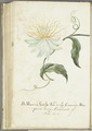 "KITLV - 37A103 - Markée, Cornelis - Flower and fruit of the ""marquiaas"" or passion tree (passionfruit) - Brush drawing - Circa 1763.tif"