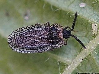 <i>Kalama</i> (genus) Genus of true bugs