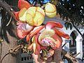 Kanonenkugelbaum Blüte.jpg