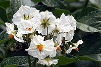 Solanum tuberosum, potatis