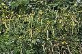 Kassod (Senna siamea) flowers, pods & leaves W IMG 0544.jpg