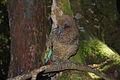 Kea (Nestor notabilis) -front -NZ-8a.jpg
