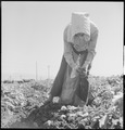 Kern County, California. Migrant youth in potato field. Potatoes are picked, the dirt rubbed off, and put in a sack... - NARA - 532139.tif
