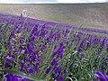 Khankandi Blue Flowers.jpg