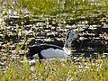 Knob-billed Duck Sarkidiornis melanotos by Dr. Raju Kasambe DSCN7479 (1).jpg
