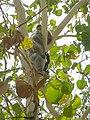 Koala Bär Bear Autralien (129366123).jpeg