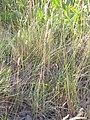 Koeleria macrantha (3750488319).jpg
