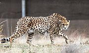 Kooshki (Iranian Cheetah) 05