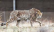 Een Aziatische cheetah in Iran