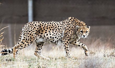 The Asiatic cheetah, a critically endangered species living only in Iran. Kooshki (Iranian Cheetah) 05.jpg