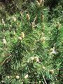 Kosodrzewina (Sosna górska) Pinus mugo mugo.jpg