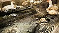 L214 - Couvoir du Saison, août 2020 - canards contraints de vivre dans une mare de déjections.jpg
