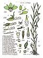 LR024 72dpi Dendrobium lobbii.jpg
