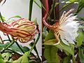 La fleur qui ne souvre que la nuit (7406185078).jpg