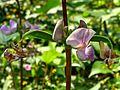 Lablab purpureus plant & flowers 27.jpg