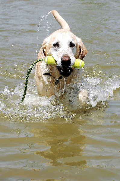 "The image ""http://upload.wikimedia.org/wikipedia/commons/thumb/6/65/Labrador_Retriever_yellow_swimming.jpg/398px-Labrador_Retriever_yellow_swimming.jpg"" cannot be displayed, because it contains errors."