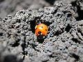 Ladybird etna.jpg