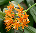 Laelia x cattleya aurantiaca 1001 Orchids.jpg