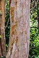Lagerstroemia indica in Eastwoodhill Arboretum (1).jpg