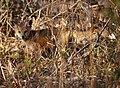 Lake Nelson's Fox (5231716450).jpg