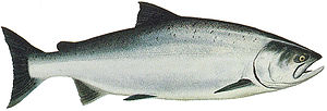 Chinook salmon - Ocean-phase