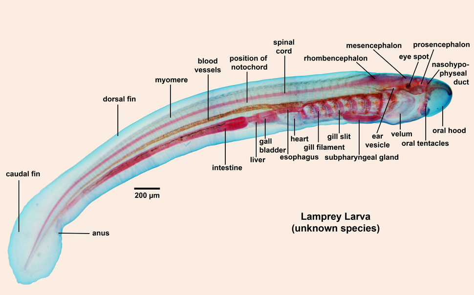 Lamprey larva labelled