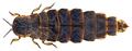 Lampyris noctiluca (Linnaeus, 1758) Female (26135064472).png