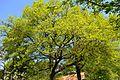 Landschaftsschutzgebiet Gütersloh - Isselhorst - Baum am Haverkamp.jpg